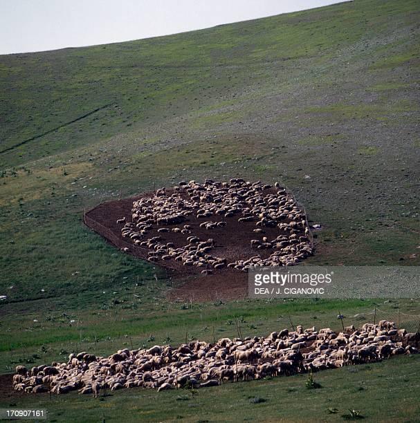 Sheep grazing, Gran Sasso, Gran Sasso and Monti della Laga National Park, Abruzzo, Italy.