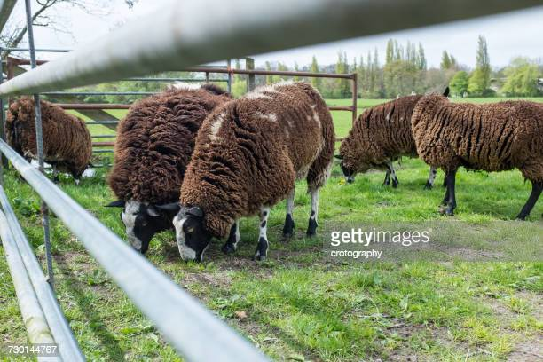 Sheep grazing in a field, Holland