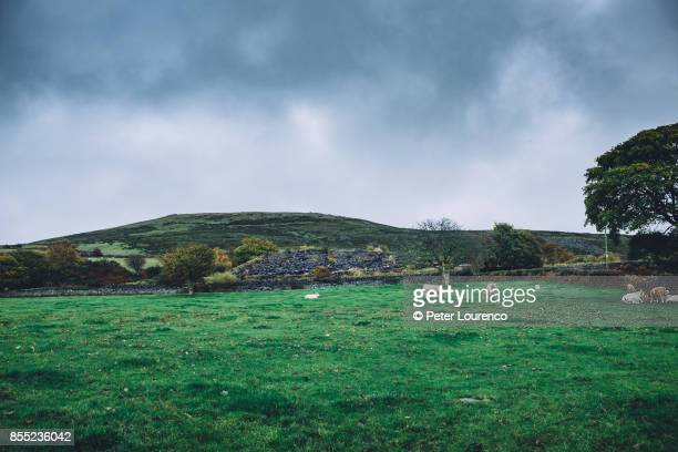 sheep grazing in a field in wales - peter lourenco stockfoto's en -beelden
