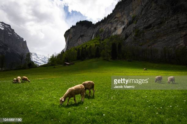 sheep grazing in a field, lauterbrunnen, switzerland. - image stock-fotos und bilder