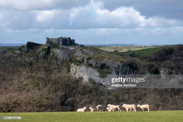 Sheep grazing in a field on the estate of Carreg Cennen Castle on 18th February 2019 in Trapp, Powys, Wales, United Kingdom. The castle has been in a...