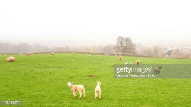 sheep grazing in a field - medium group of animals stock pictures, royalty-free photos & images