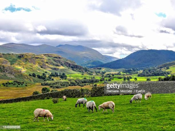 sheep grazing in a field - herbivorous stock pictures, royalty-free photos & images