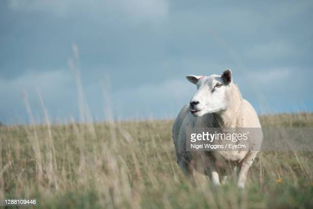 sheep grazing in a field with on the sussex downs near alfriston - sheep stock pictures, royalty-free photos & images