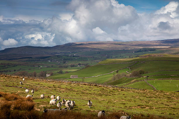 Sheep Grazing In A Field With Storm Clouds Approaching Wall Art