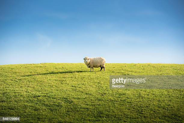 Sheep grazing in a hill at sunset.