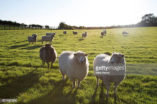 Sheep grazing in clean evening light on farmland at Kilburn in The Hambleton Hills on the North York Moors Yorkshire England UK This is a farming...