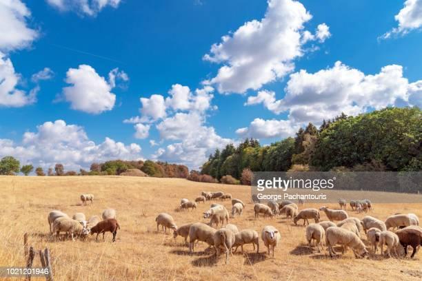 sheep grazing in dry field - リュクサンブール州 ストックフォトと画像