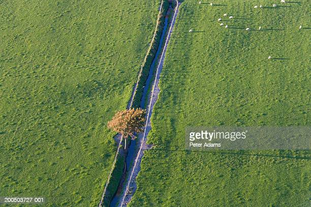 Sheep grazing in field near solitary tree and stream, aerial view