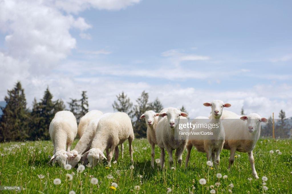 Sheep Grazing in Field : Stock Photo