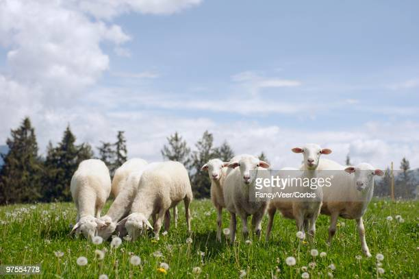sheep grazing in field - climat stock pictures, royalty-free photos & images