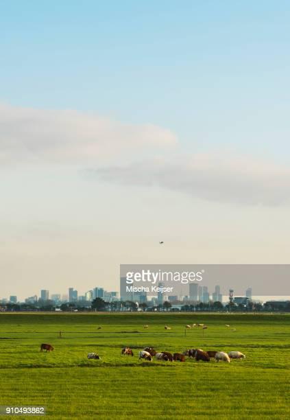 Sheep grazing in field, Rotterdam, South Holland, Netherlands, Europe