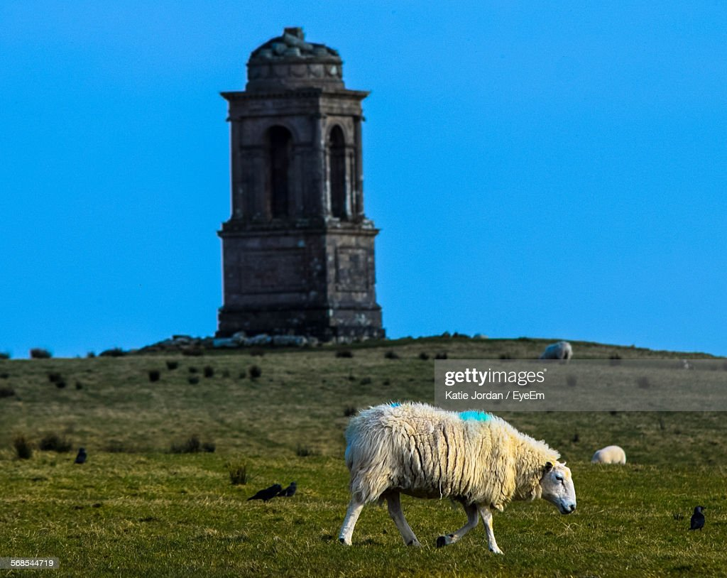 Sheep Grazing In Front Of Historical Building Against Clear Blue Sky : Stock Photo