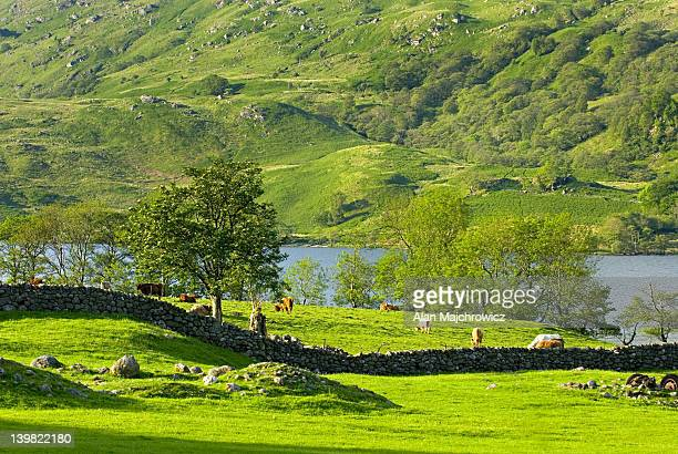 sheep grazing in glen falloch, scotland, uk - pasture stock pictures, royalty-free photos & images