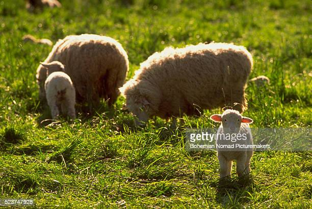 sheep grazing in grassy area - corvallis stock pictures, royalty-free photos & images