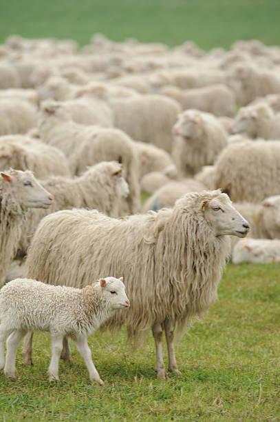 Sheep grazing in grassy field