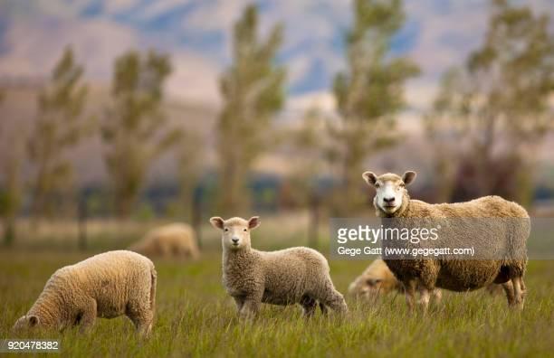 Sheep grazing in Green Field - Cattle