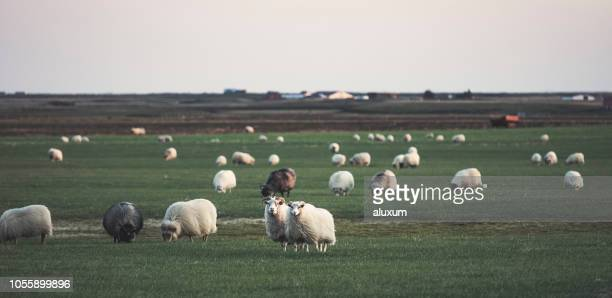 sheep grazing in iceland - comportamento animale foto e immagini stock