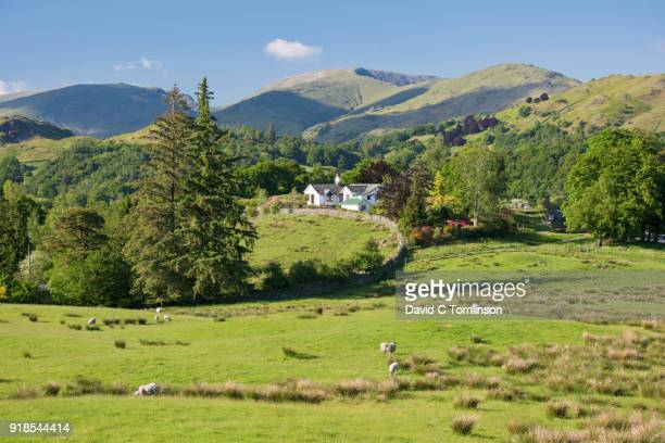 sheep grazing in lush meadow, elterwater, lake district national park, cumbria, england, uk - remote location stock pictures, royalty-free photos & images