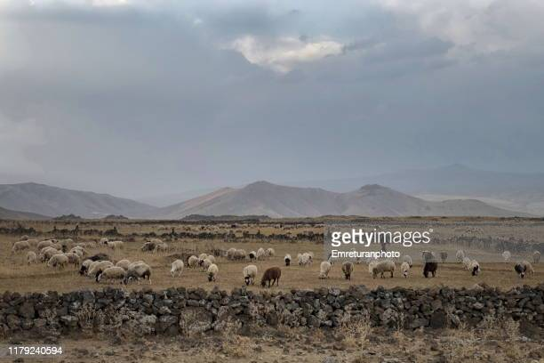 sheep grazing in open fields,van province. - emreturanphoto stock pictures, royalty-free photos & images