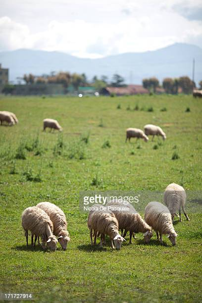 CONTENT] Sheep grazing in organic sheep farming on May 1 2012 in Val D'Orcia Tuscany Italy The organic food consumption has increased by 61 per cent...