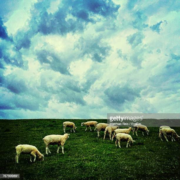 sheep grazing in pasture - husum stock-fotos und bilder