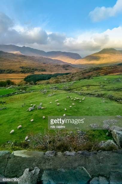 sheep grazing in ring of kerry, ireland - rob castro stock pictures, royalty-free photos & images