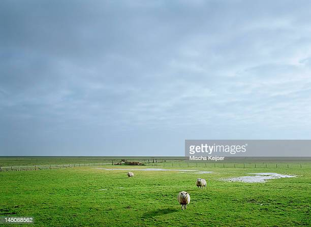 Sheep grazing in rural pasture