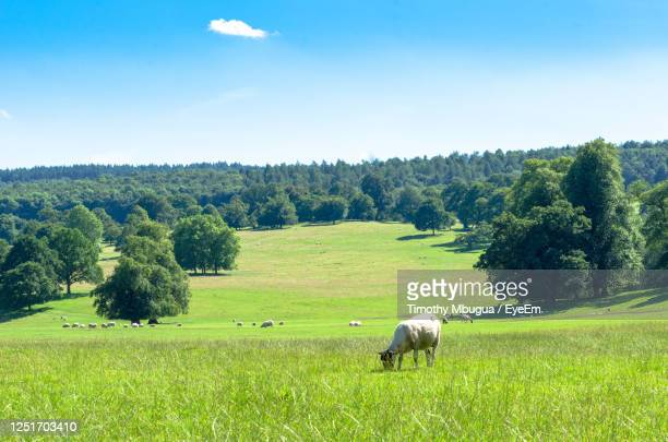sheep grazing in summer in the peak district national park, in derbyshire, england - sheep stock pictures, royalty-free photos & images