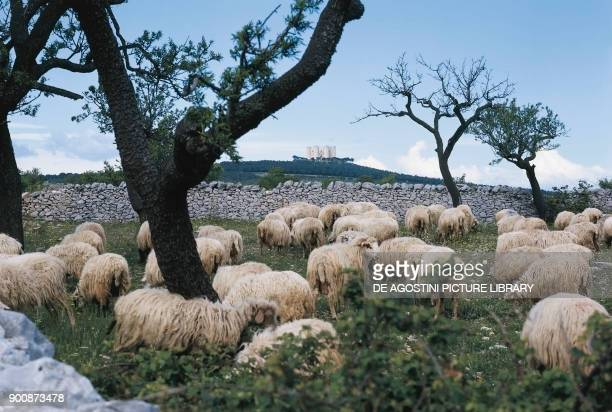 Sheep grazing in the Apulia country with Castel del Monte in the background Apulia Italy