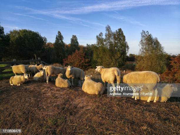 sheep grazing in the late evening sunlight - fehmarn stock-fotos und bilder