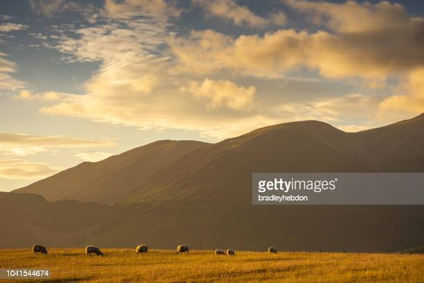 Sheep grazing in the pastures of Keswick, England at sunset