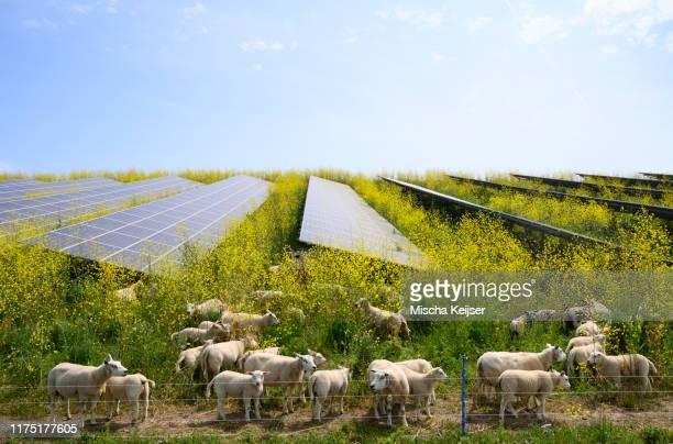 sheep grazing mustard plants at solar farm, geldermalsen, gelderland, netherlands - gelderland stock pictures, royalty-free photos & images