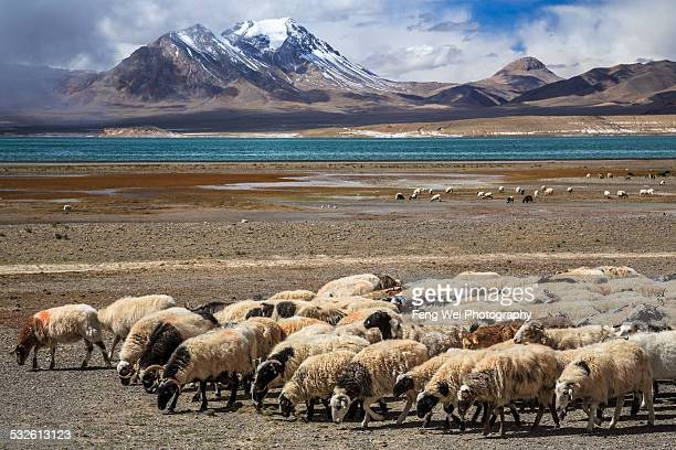 Sheep grazing near Dangchung Tso, Tibet