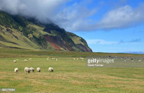sheep grazing near edinburgh of the seven seas in tristan da cunha island,  st helena. - tristan da cunha eiland stockfoto's en -beelden