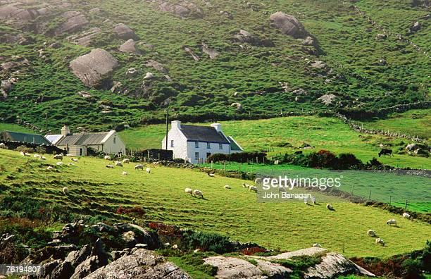 Sheep grazing near farmhouses, Munster, Ireland, Europe