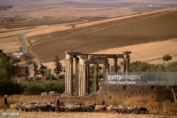 Sheep Grazing Near Roman Ruins in Tunisia