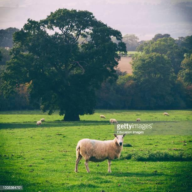 Sheep grazing near Welshpool, Powys, Wales, United Kingdom.