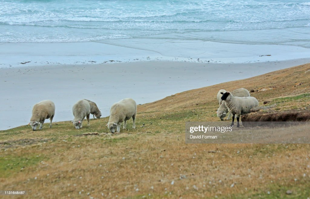 Sheep grazing on a cliff-edge, Saunders Island, Falkland Isles. : Stock Photo