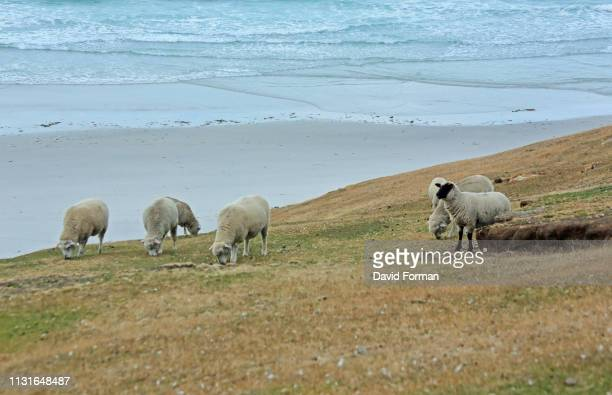 sheep grazing on a cliff-edge, saunders island, falkland isles. - cliff saunders stock-fotos und bilder