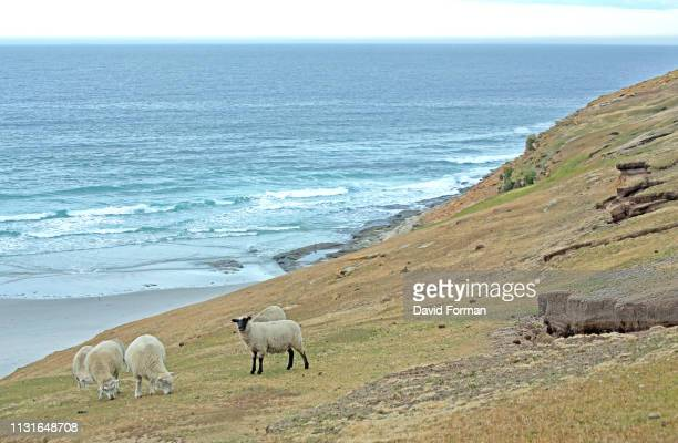 Sheep grazing on a cliff-edge, Saunders Island, Falkland Isles.