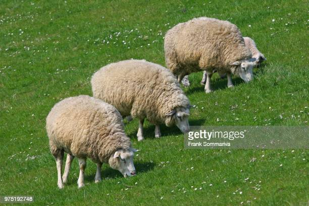 sheep (ovis ammon f.aries) grazing on a dike, schleswig-holstein, germany - dique barragem imagens e fotografias de stock
