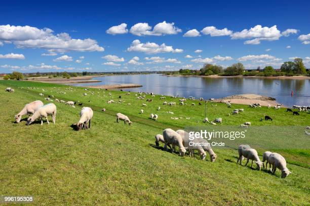 sheep grazing on a dyke, vierlande and marschlande region, hamburg, germany - levee stock pictures, royalty-free photos & images
