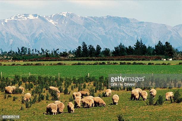 Sheep grazing on Canterbury plain South island New Zealand