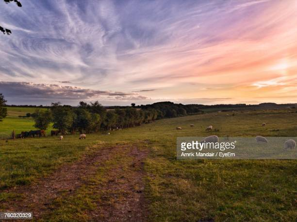 Sheep Grazing On Field At Sunset