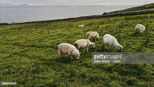 Sheep Grazing On Grassy Field Against Sea
