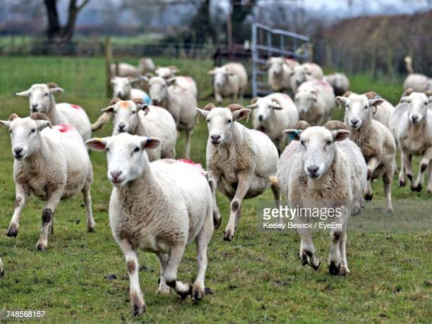 Sheep Grazing On Grassy Field