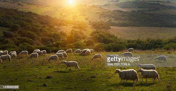 sheep grazing on grassy hillside - ovino foto e immagini stock