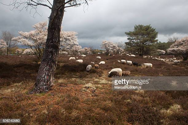 Sheep grazing on heather in springtime