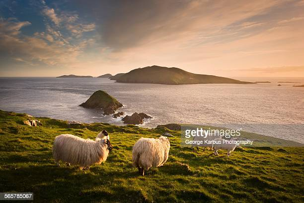 sheep grazing on hillside, blasket islands, county kerry, ireland - republic of ireland stock pictures, royalty-free photos & images